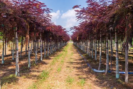 Rows of seedlings of albizia with red leaves in a nursery. Decorative tree in landscaping