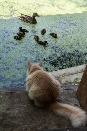 Fluffy cat is watching the duck and ducklings on a pond