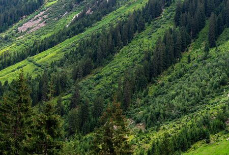 High spruce trees grow in vertical rows on a mountainside Standard-Bild - 140373259