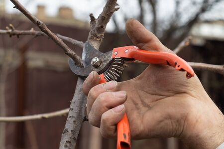 A man cuts tree branches by pruner in spring