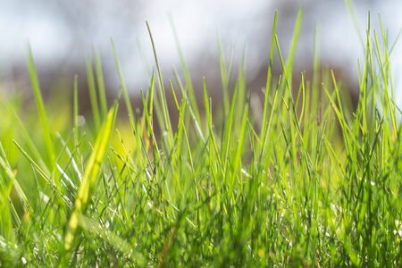 Fresh green grass lit by sunlight. Close-up. Floral background