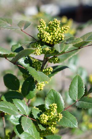 Mahonia aquifolium, evergreen shrub used for decorative landscaping, leaves and buds