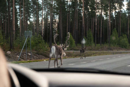 Reindeer with big horns walks along the road in front of the car, Norway