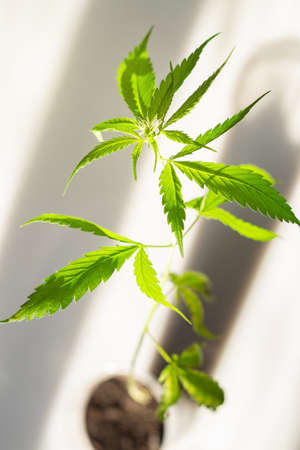 Green leaves of young cannabis plant Archivio Fotografico