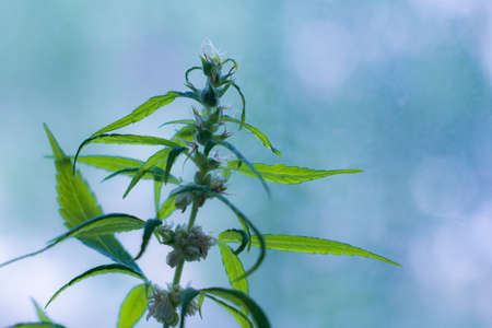 Cannabis plants at the beginning of flowering Archivio Fotografico