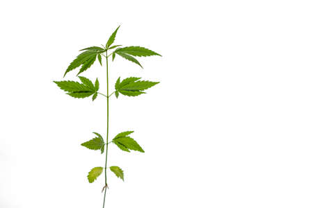 Green cannabis plant on white background