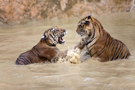 tigers play in water near the rock