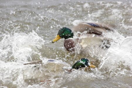 drakes: Game Ducks in the water