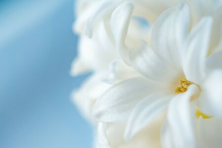 Hyacinth close-up.Concept of a greeting card for a holiday