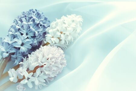 three hyacinth flowers on a pastel background. horizontal image.Concept of a greeting card for a holiday 免版税图像