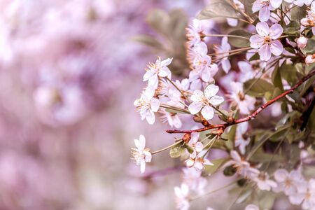 cherry blossom branch on a blurred background.rose cherry petals on tree branches 免版税图像