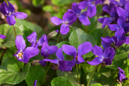 Background of forest violets growing on meadow in spring.