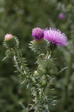Thistle close-up in vivo. Weed flower growing in the field, pink purple flower heads.