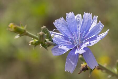 Blue chicory flower in the wild. Close-up.