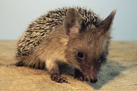 Funny little hedgehog, dwarf breed. Stockfoto