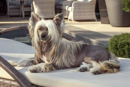 Chinese crested dog resting on a couch. 版權商用圖片