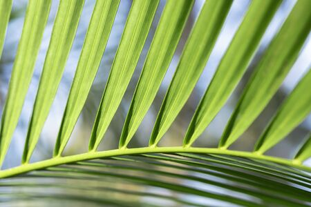 Green palm leaf on Sunny day close-up. Exotic leaf with graceful curve Stock fotó