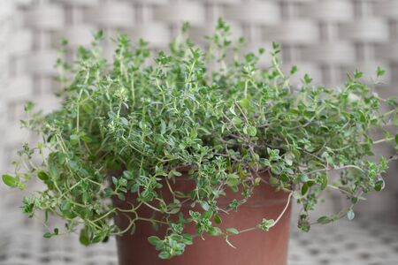 Thyme plant growing in a potted room Stock Photo