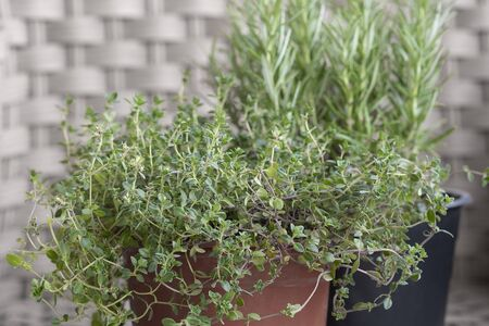 Thyme Rosemary Plant Growing In A Potted Room Soft Focus Stock