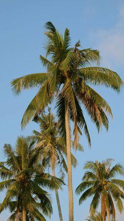 Coconut trees in the blue sky Archivio Fotografico