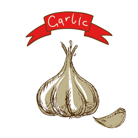 Garlic sketch isolated - vector