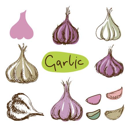 garlic clove: Garlic sketch set - vector Illustration