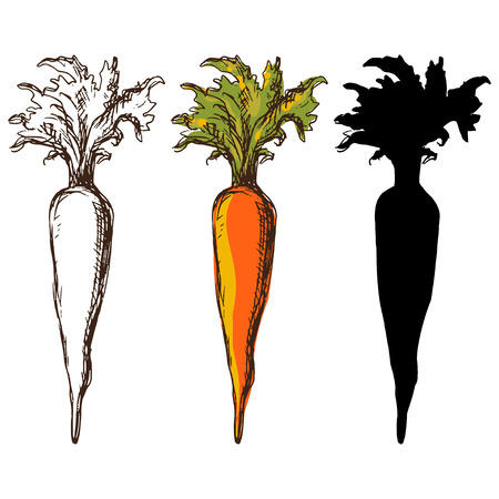 carrot: Set sketch carrots isolated - vector