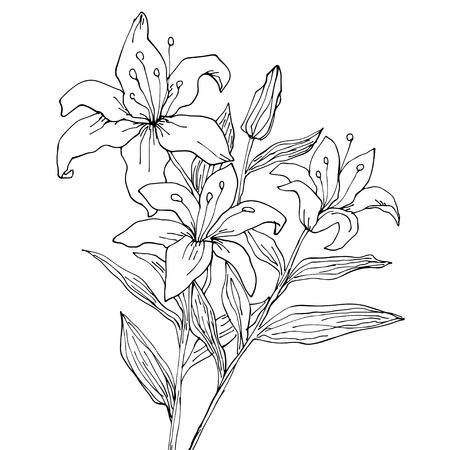 tiger lily: Lily flowers isolated  Hand drawing illustration