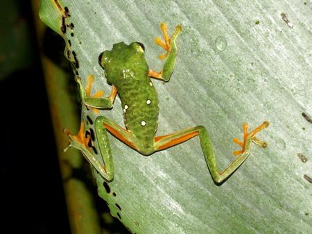 redeyed tree frog: Little frog red-eyed tree frog. Agalychnis Callidryas. Costa Rica