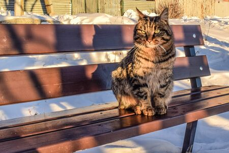 Beautiful cat sits on a bench. The cat froze on the street in winter. Tabby cat on a winter sunny day. Portrait of a sad cat.