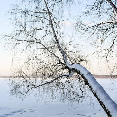 Large branch leaned over the winter lake.