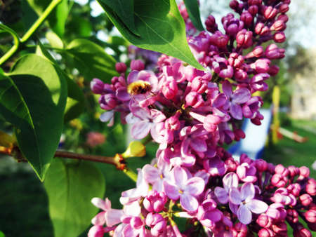 variety of lilac