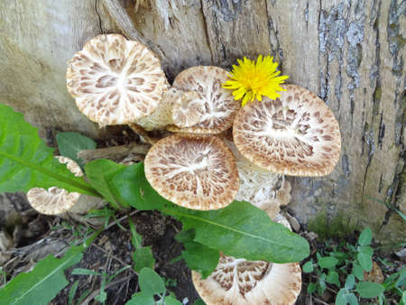 uneatable: spring uneatable mushrooms, growings under a tree Stock Photo