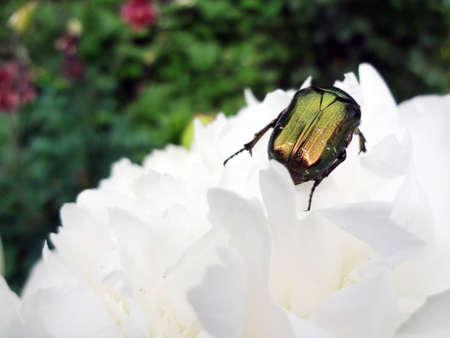 goldish: beetle   goldish bronzovka   on the flower of pi-meson