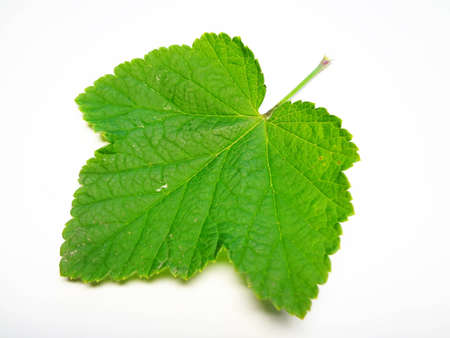 seasoned: green sheet of currant on a white background