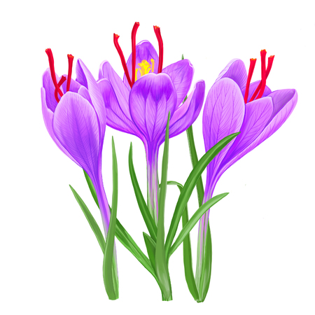 Crocus blossom with crimson stigmas. Lilac saffron flowers on a white background.