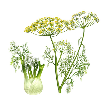 Painted fennel on white background closeup. 스톡 콘텐츠