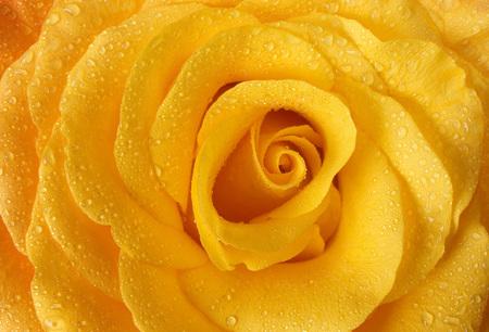 Wet yellow rose close up background. Zdjęcie Seryjne