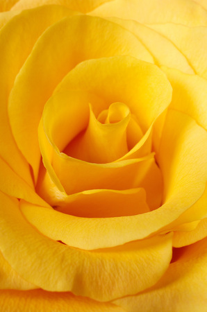 Yellow rose closeup background.