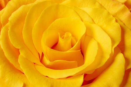 Yellow rose closeup background.