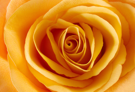 Yellow rose close up background.