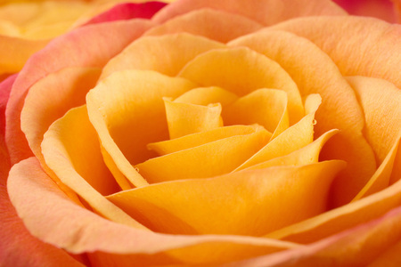 Orange rose closeup background.