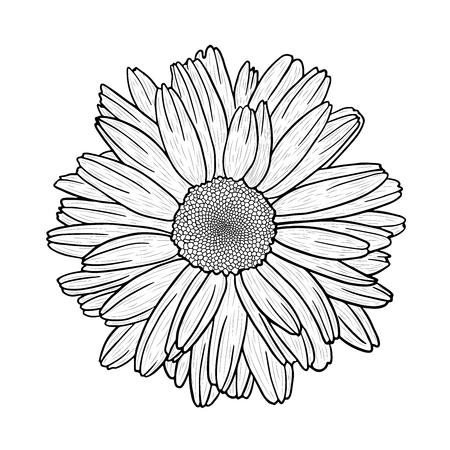 Vector black and white hand drawn image of a camomile (daisy) flower. Vector EPS 10.