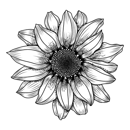 Vector hand-drawn image of daisy or chrysanthemum flower, ink style. EPS 10