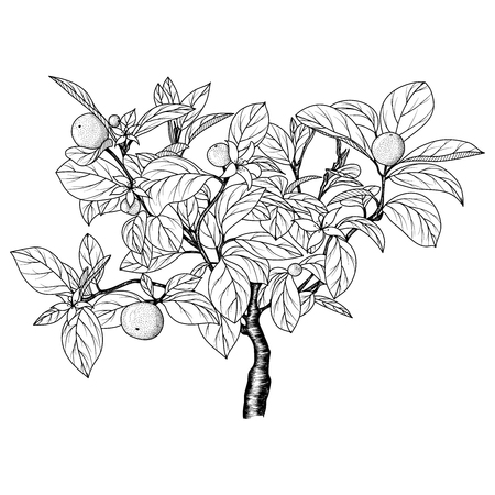 Hand drawn image of an orange (tangerine) tree. An ink-drawn sketch. Vector EPS 10.