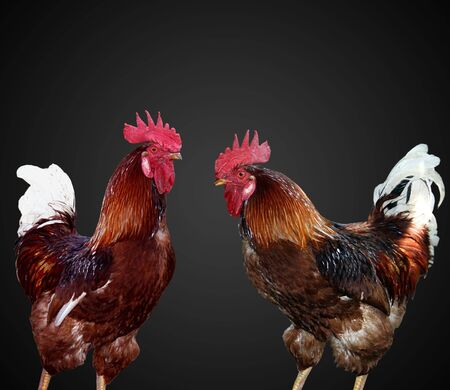 Two beautiful and bright cock separately Stock Photo - 5915014