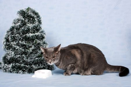 The grey cat eats about the Christmas tree. Stock Photo - 6109143