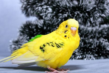 Yellow wavy parrot on a background the tree of Christmas. photo