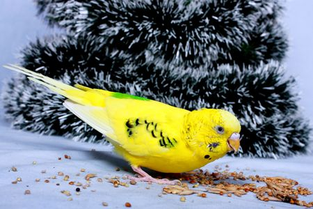 A yellow wavy parrot eats a corn on a background the tree of Christmas. photo