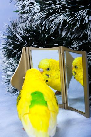 Yellow wavy parrot and his reflection in a mirror on a background the tree of Christmas. photo